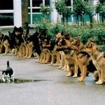 Duitse Herders & kat-1